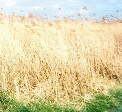 Reed beds outside Brancaster